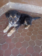 Chiot pure Race