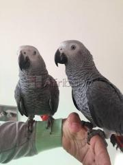 Male and Female African Grey Parrots Available