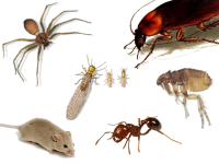 Safe Homes, pests control, cockroaches, bedbugs, rats control msa