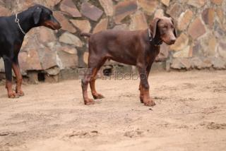 Doberman filhote Macho red
