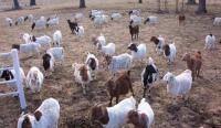 Boer Goats, Sheep, Cattle, Lambs, Pigs, for sale