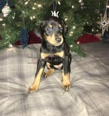 Adorable Doberman Pinscher puppies for sale