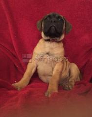 Kusa registered pups for sale