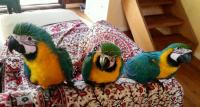 Blue and Gold Macaw parrots that will make your home great
