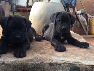 Pure And Full breed Cane Corso, dog/puppy For Sale