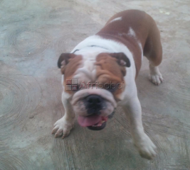 Cute Pure breed Bull Dog, dog/puppy For Sale Going For