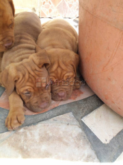 Cute Pure breed French Mastiff, dog/puppy For Sale Going For