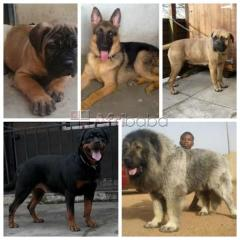 For sale - bullmastiff, rottweiler, caucasian, german shepherd & more