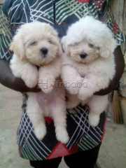 Pure And Full breed Coton De Tulear, dog/puppy For Sale