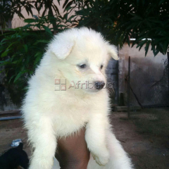 Pure And Full breed Samoyed, dog/puppy For Sale Going For N