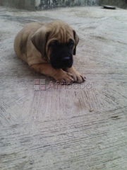 Cute Full/Pure breed BullMastiff, dog/puppy For Sale Going For N