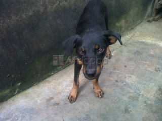 Cute Pure Breed DoberMan, dog/puppy For Sale Going For