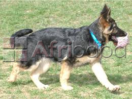 Cute full/pure breed german shepherd,, dog/puppy for sale going for n