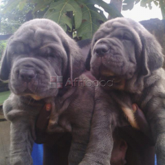 Cute Pure breed Neapolitan Mastiff, dog/puppy For Sale Going For