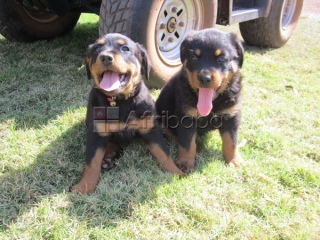 Cute Full/Pure breed Rottweiler, dog/puppy For Sale Going For N