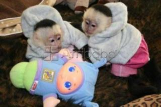 Primate capuchin monkeys for sale