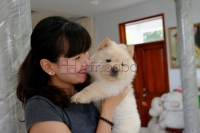 Adorable Chow chow Puppies for loving homes