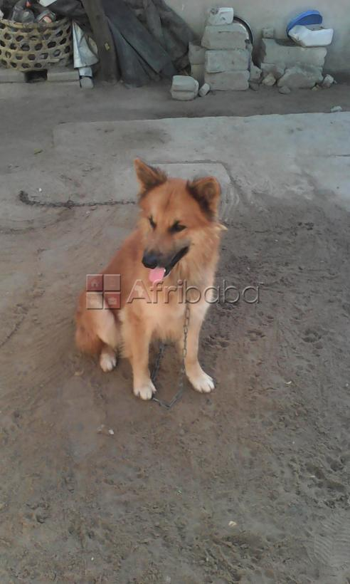 A Male Security Dog for SALE (GSD) #1