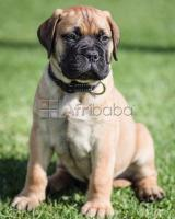 8 weeks old bullmastiff puppies for sale. #1