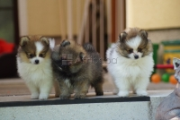 We have Both Male and Female Pomeranian Puppies for Adoption
