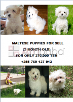 2 Month Maltese Puppies For Sale