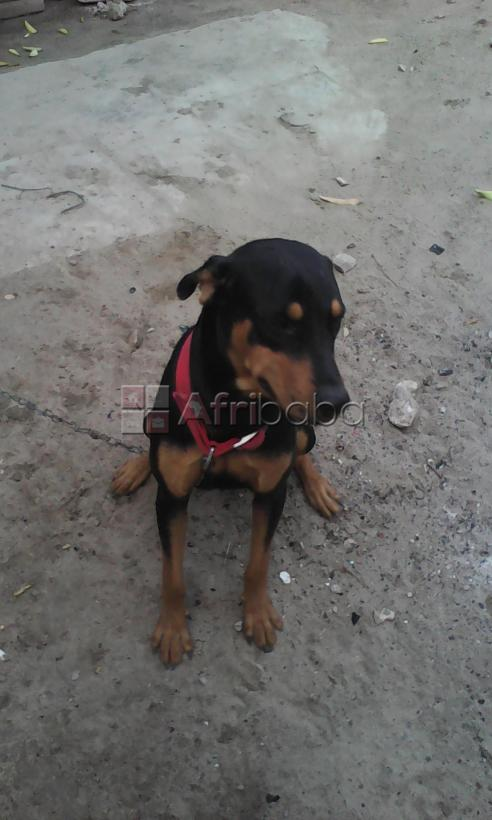 Rottweiler For Sale #1