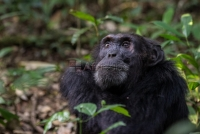 CHIMPANZEE SAFARIS IN UGANDA :KIBALE NATIONAL PARK.