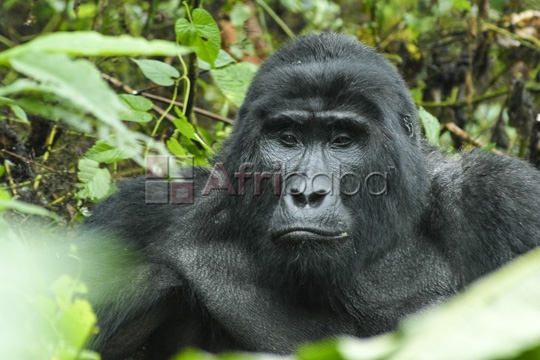 uganda safaris, air ticketing   gorilla trekking, tour pa #1