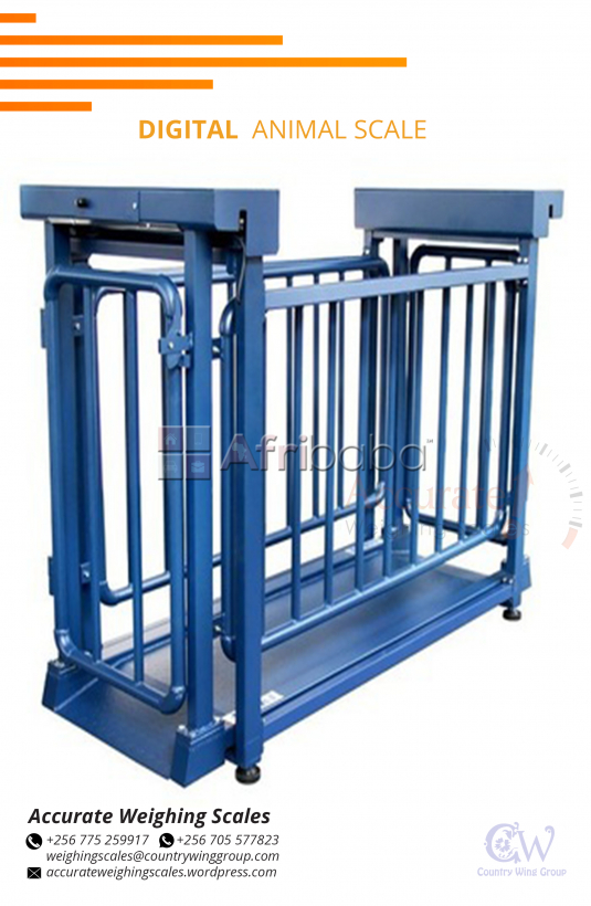Livestock weighing with heavy duty leads that withstand squashing