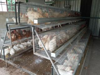 "Point of lay / Chicken Layer ""White hyliners"" fully vaccinated."