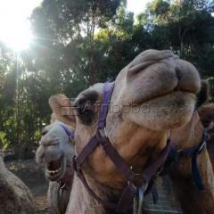 Camels for sale whatsapp