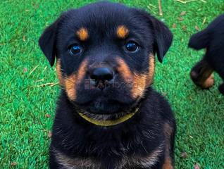 Rottweiler puppies available  for sale both male and female