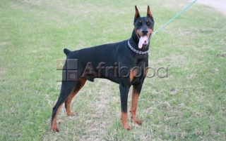 KUSA Registered Doberman Pinscher puppies