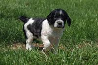 Gorgeous English Springer Spaniel Puppies