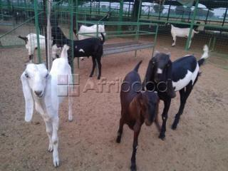 Cattle, Goats, Sheep, Pigs, Chickens for sale