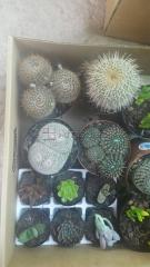 Cacti available in pots