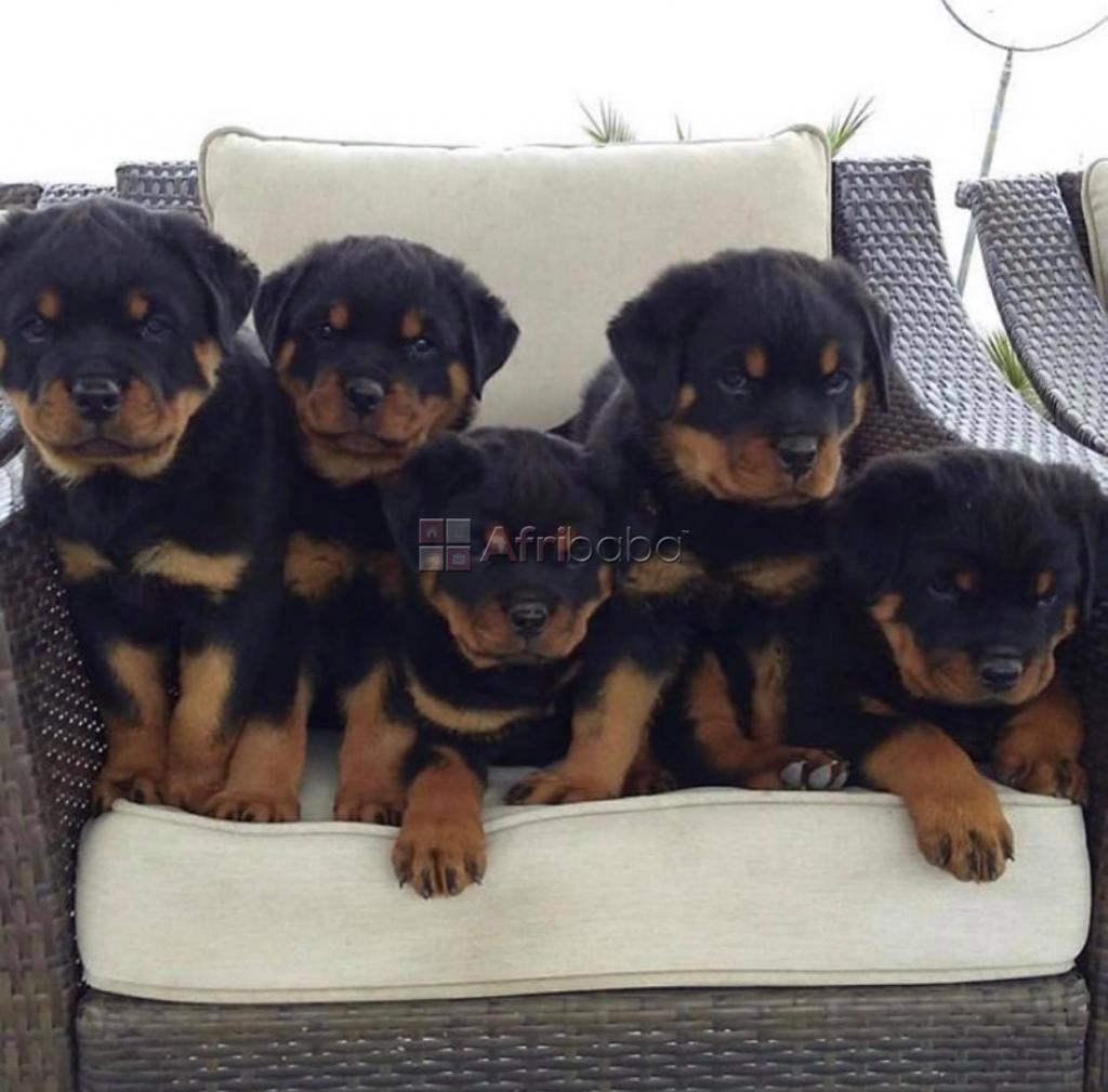 Beautiful rottweiler puppies for sale #1