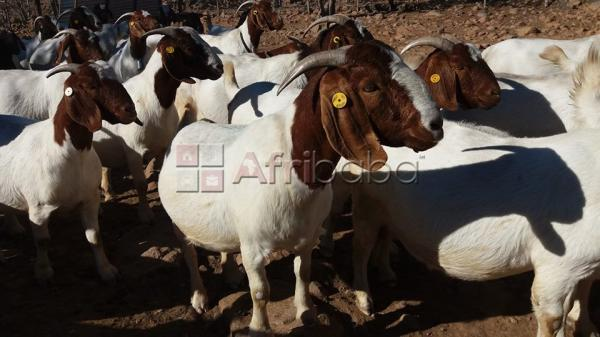 100% full blood live boer goats for sale now!! #1