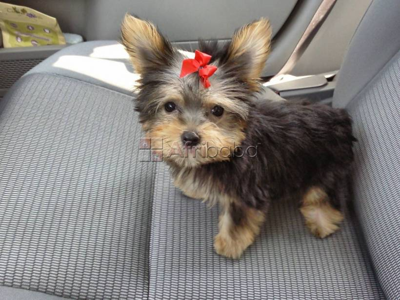 Healthy Yorkie puppies for sale #1