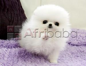 Pure White Teacup Pomeranian Puppies Ready for sale