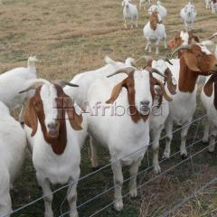 Top 100% full blood live boer goats for sale now!!